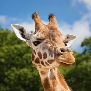 Podcast: Do Animals in the Wild Get Drunk?